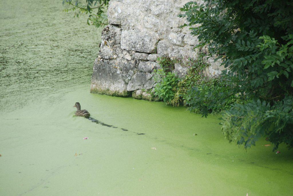 Haiku, like a duck in water lentils