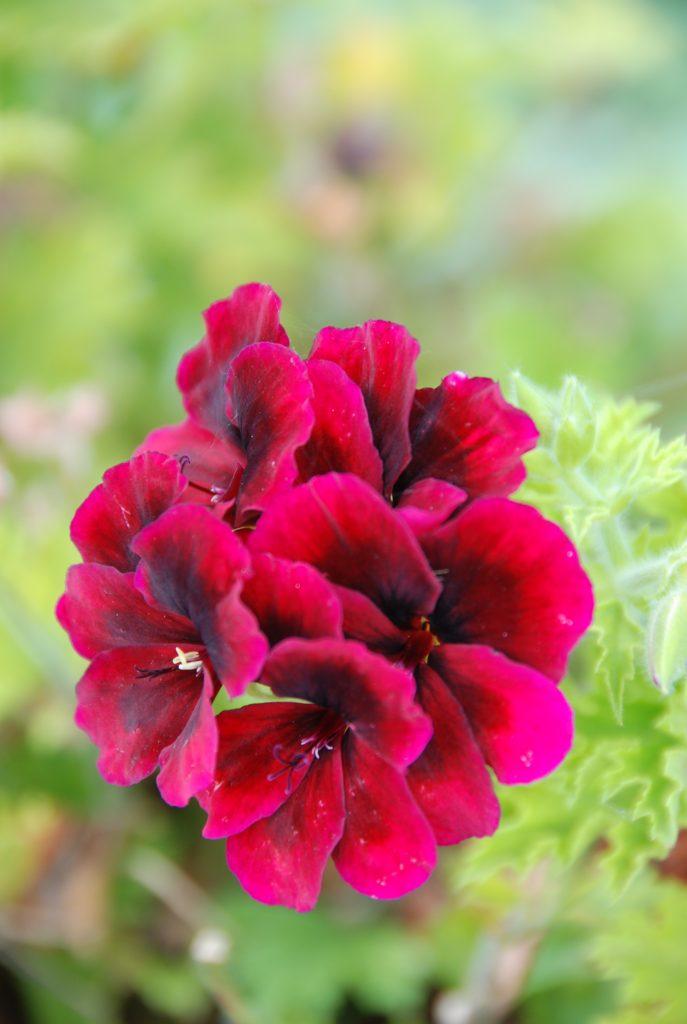 scarlet geranium