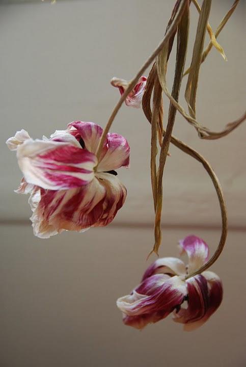 Fading tulips